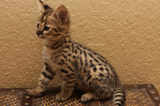 TICA Registered Female Savannah Kitten