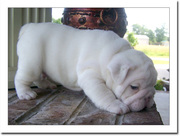 Gorgeous English Bull Puppies