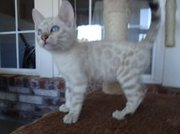 Snow Spotted Bengal Kittens