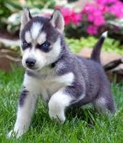 Two Lovely siberian husky puppies for sale