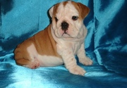 english bull dog puppies for sale
